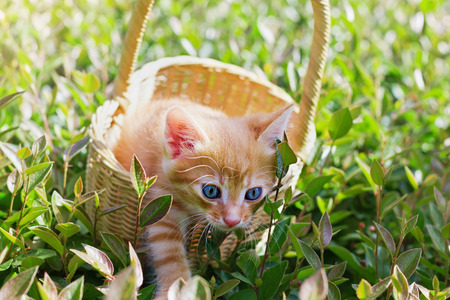 catlike: cute blue-eyed kitten trying to get out of the basket on the green lawn Stock Photo