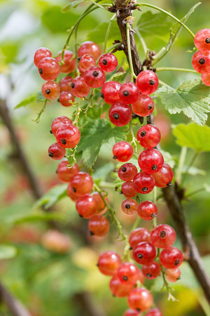red currant: red currant on a branch in the garden