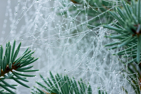 thorn tip: pine branch with spider web or cobweb with water drops after rain