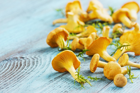 cantharellus: yellow chanterelle (cantharellus cibarius) on a blue wooden background