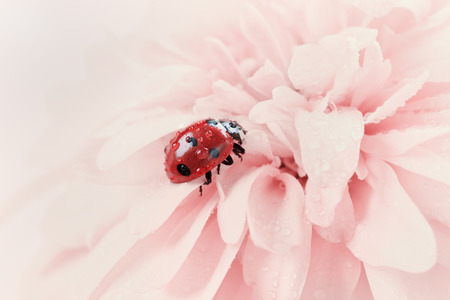 lady bug: ladybird or ladybug in water drops on a pink flower, natural vintage background with pastel colors