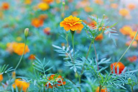 tagetes: autumn marigold flower, Latin name Tagetes Stock Photo