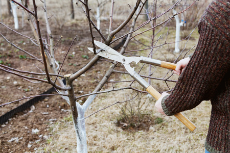 farm implements: farmer cuts with pruning shears fruit trees in a spring garden