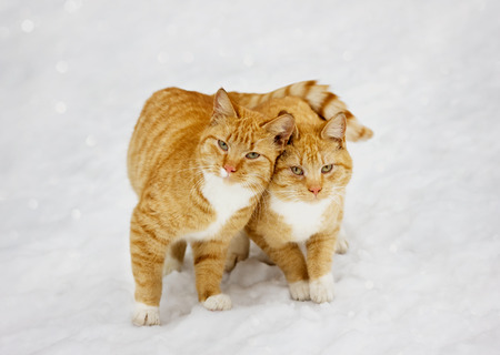catlike: two cats nestled to each other outdoor in snowy background Stock Photo