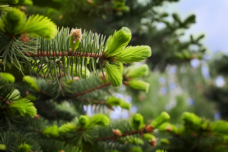 thorn tip: young sprout of spruce, natural forest background