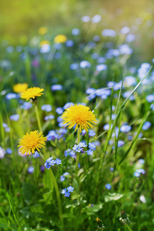 nature natural: beautiful summer meadow with flowers dandelions and forget-me-nots, lovely landscape of nature, natural background Stock Photo