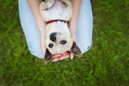 lovers holding hands: glamour girl or woman holding cute funny chihuahua puppy dog on green lawn on the sunset, people pets concept, beautiful evening lights, unusual shoot