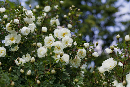 english rose: beautiful bush with white flowers of wild english rose in the garden, lovely landscape of nature, shallow dof