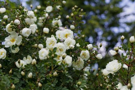 Beautiful bush with white flowers of wild english rose in the beautiful bush with white flowers of wild english rose in the garden lovely landscape of mightylinksfo