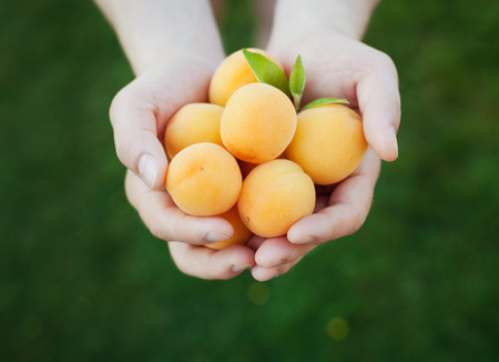 autumn food: Farmer hands holding ripe apricots, selective focus