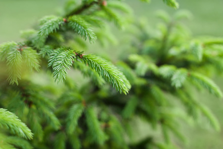 thorn tip: Young sprout of spruce with green tip Stock Photo