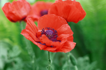 Red poppy flower or Papaver on the meadow, symbol of Remembrance Day or Poppy Day, shallow dof Stock Photo