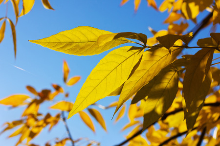 mellow: yellow autumn leafs against blue sky, fall trees in sun light