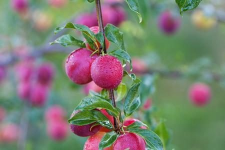 albero da frutto: Prugne fresche sull'albero nel frutteto