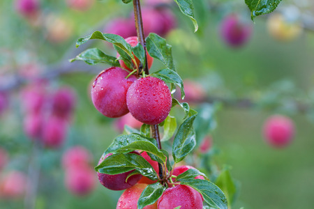 Fresh plums on the tree in orchard