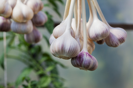 garlic: Harvest of garlic hanging to dry Stock Photo