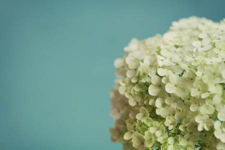 White hydrangea flowers on blue vintage backdrop, beautiful floral background, copy space for you text Stock Photo
