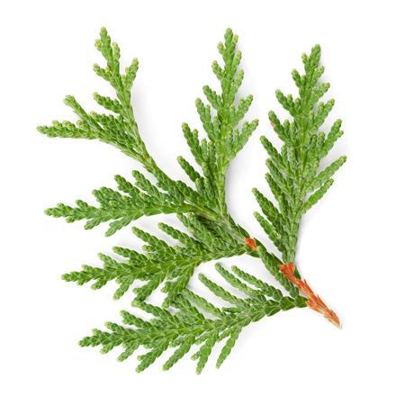 cedro: Primer de la ramita verde del thuja la familia de ciprés en el fondo blanco