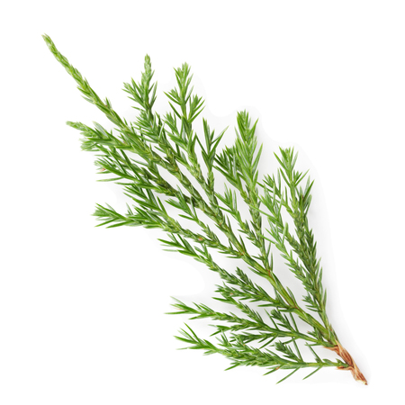 thuja: Closeup of green twig of thuja the cypress family on white background