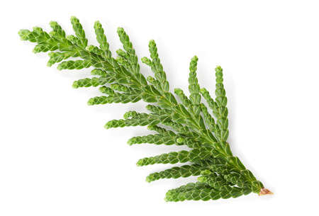 juniper tree: Closeup of green twig of thuja the cypress family on white background