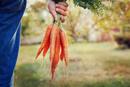 zanahoria: Farmer mano que sostiene un manojo de zanahorias orgánicas frescas en el jardín de otoño al aire libre, imagen de tonos