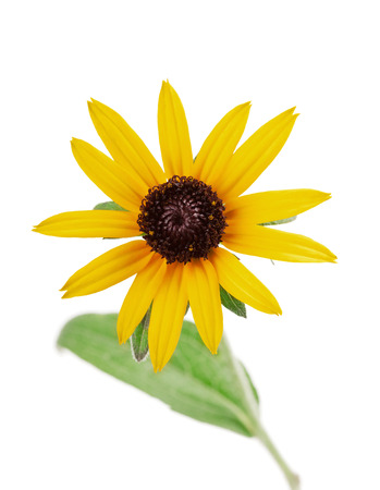 floral objects: Yellow flower rudbeckia hirta isolated on white background Stock Photo