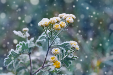 frost covered: Plant covered with frost, hoarfrost or rime in winter morning, natural background