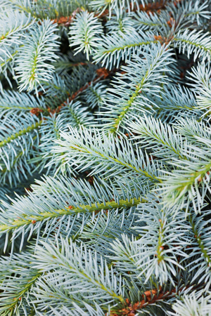 thorn tip: Fir tree background, can be used as christmas backdrop Stock Photo
