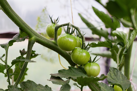 hotbed: New crop of tomatoes in the greenhouse