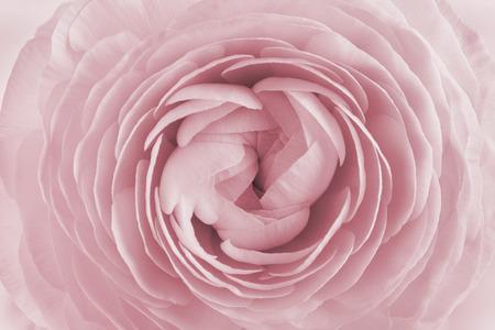 flores de cumpleaños: Primer plano de ranúnculos para el fondo, flor hermosa primavera, patrón de cosecha de flores, macro