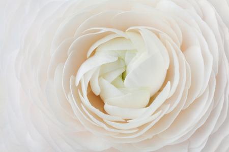 Nahaufnahme von Pfirsich Ranunculus für abstrakte Hintergrund, schöne Frühlingsblume, Hochzeit Blumenmuster, Makro, flache DOF