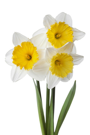 jonquil: Narcissus, daffodil, jonquil isolated on white background
