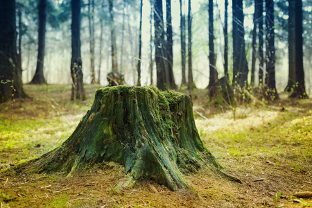 Old tree stump covered with moss in the coniferous forest, beautiful landscape