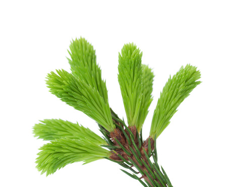 thorn tip: Young sprout of spruce isolated on white background, green tip Stock Photo