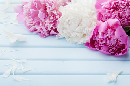 Beautiful pink and white peony flowers on blue vintage background with copy space for your text or design Imagens - 60006959