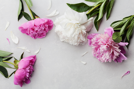 Beautiful pink and white peony flowers on gray stone background with copy space for your text or design, top view, flat lay Stock Photo