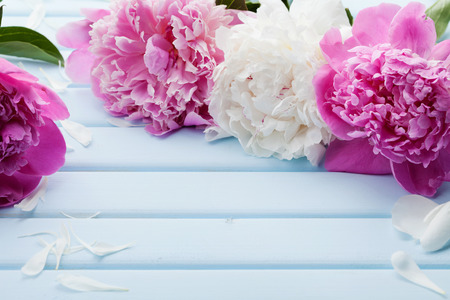 space for text: Beautiful pink and white peony flowers on blue vintage background with copy space for your text or design