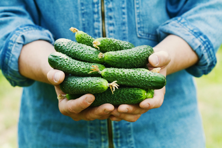 encurtidos: Farmer holding in hands the harvest of cucumbers in the garden. Natural and organic vegetables. Farming.