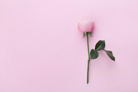 핑크 파스텔 배경 상위 뷰에 장미 꽃입니다. 플랫 평신도 스타일. 스톡 콘텐츠