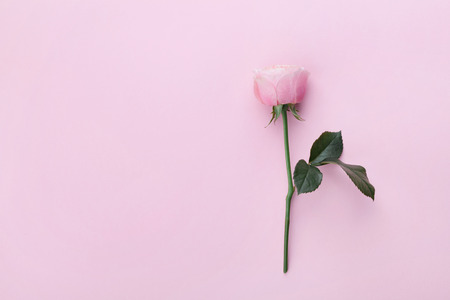 Roze roos bloem op pastel achtergrond bovenaanzicht. Platte lay style.