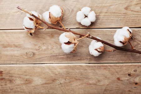 Beautiful white cotton flowers on rustic wooden table from above, flat lay.