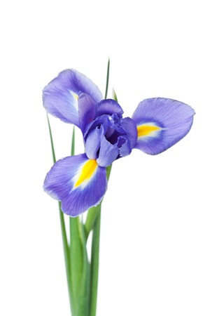 iridaceae: Iris flower isolated on white background, beautiful spring plant.