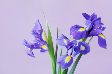 iridaceae: Greeting card with spring iris flowers.