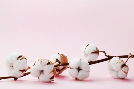 plant gossypium: Beautiful white cotton flowers on pink background.