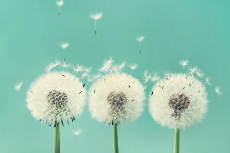 beautiful flowers: Three beautiful dandelion flowers with flying feathers on turquoise background.