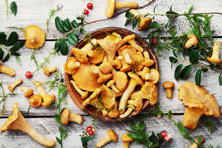 Yellow mushrooms chanterelle (cantharellus cibarius) with forest plants on white wooden table overhead view.