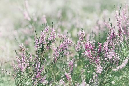 Blooming heather (calluna vulgaris, erica, ling) in forest.