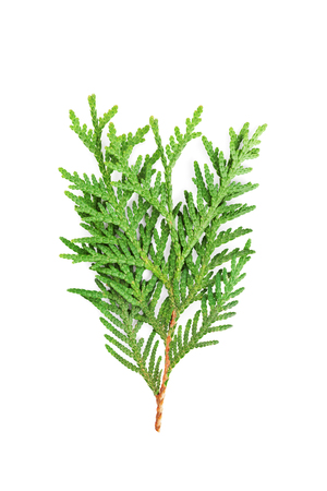 Young sprout of green thuja or arborvitae isolated on white background. Фото со стока