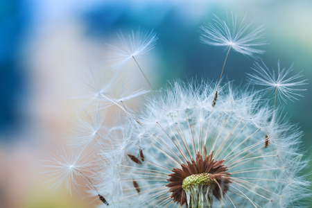 Beautiful dandelion flower with flying feathers on colorful bokeh background. Macro shot of summer nature scene.