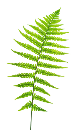 Grüner Farn lokalisiert auf weißem Hintergrund. Standard-Bild
